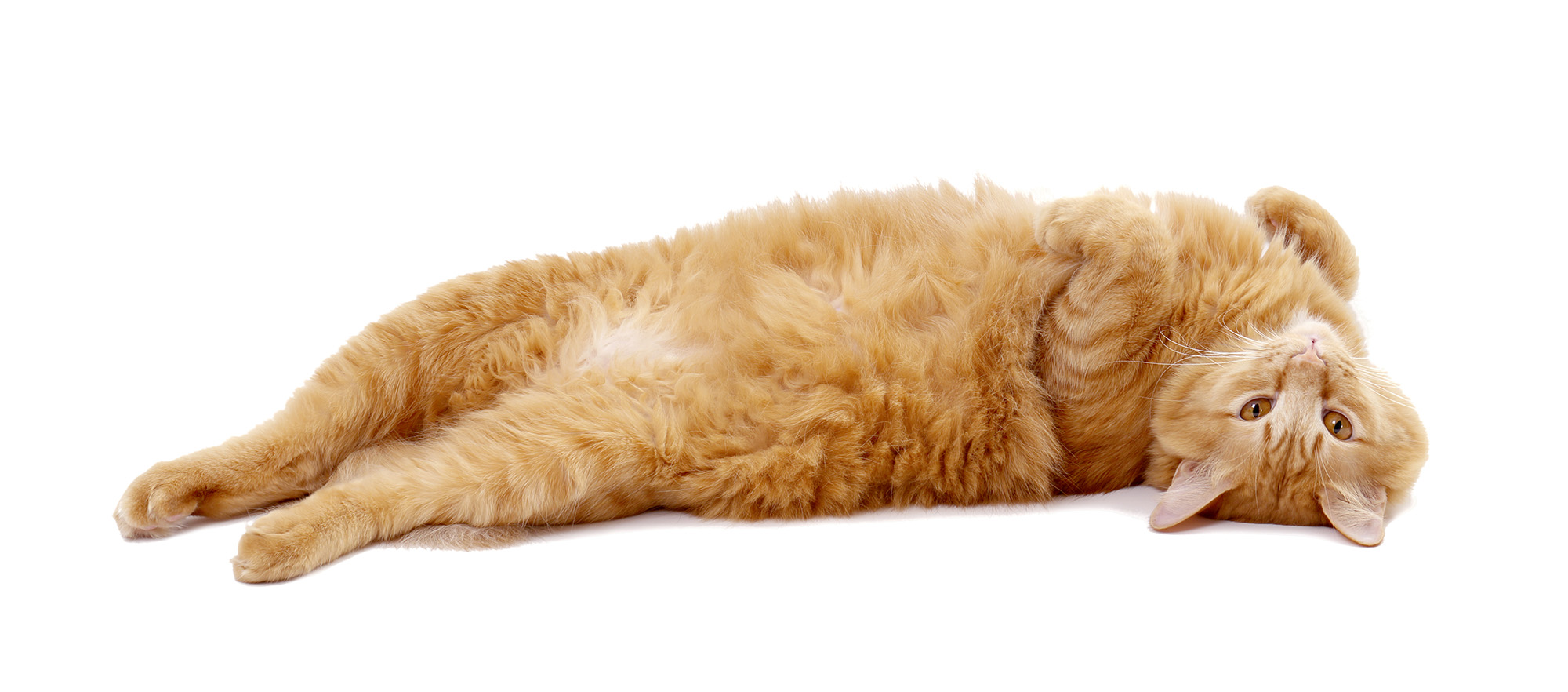The ginger tabby cat lying on the white background.