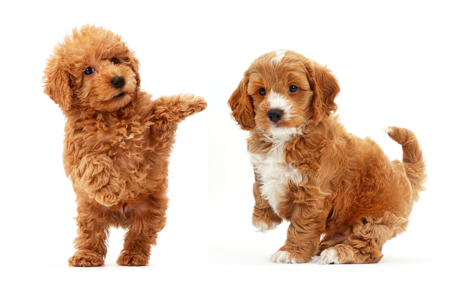 Red Toy labradoodle puppy jumping up.